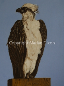 Bird of Prey - Osprey
