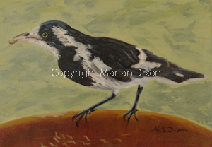 Magpie Lark in dish of meal worms