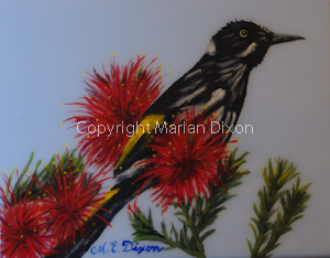 New Holland Honeyeater, Manjimup, WA