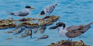 Bridle tern in foreground, Caspian terns on rocks